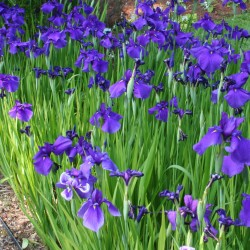 Iris ensata 'Black Knight' can be massed in rain gardens and other wet areas.