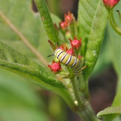 One of the monarch caterpillars in Marjorie's Garden, munching on the leaves of a tropical milkweed.