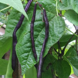 Pole bean variety Trionfo Violetto, one of the eight varieties growing in Marjorie's Garden.