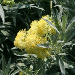 The yellow meadowrue's glaucus leaves are a perfect foil for its clusters of yellow flowers.