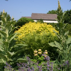 In its second year from seed, common mullein (foreground) is a wooly mammoth!
