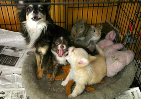May 28, 2008 - Norma, a Chihuahua from Cundy's Harbor, has raised three orphaned squirrels along with her own two puppies.