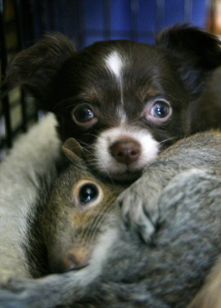 May 28, 2008  - Zackary, a Chihuahua pup from Cundy's Harbor, snuggles with one of his adopted squirrel siblings.