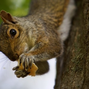 A squirrel munches a piece of bread after taking it from man's hand in Deering Oaks Park in Portland on Wednesday afternoon. Troy R. Bennett | BDN
