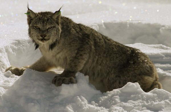 A Canada lynx surveys its surroundings in March 2004 while slowly regaining its coordination after research biologists administered a drug to counteract the effects of anesthetizing the animal in the northern Maine wilderness.