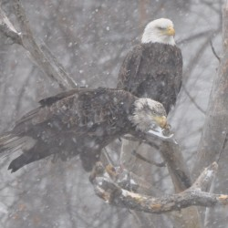 Bald eagle shootings rare in Maine