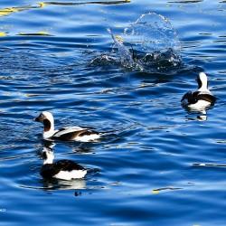 Long-tailed ducks feed.