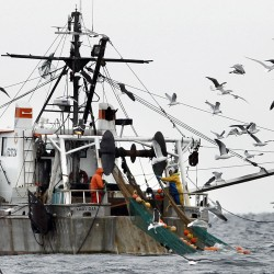 Gulf of Maine shrimp season will be a short one