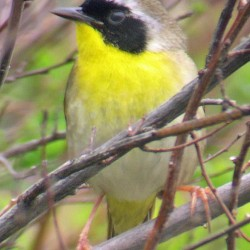 Upcoming Bangor-area bird walks: A chance to hear some lousy-singing birds