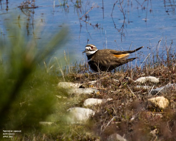A killdeer at the University of Maine Forest.