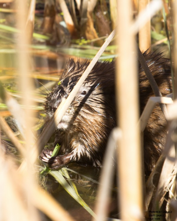 A muskrat gnaws at his cover.