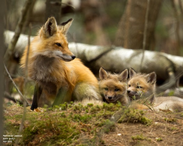 A neighborhood red fox tends to her kits.