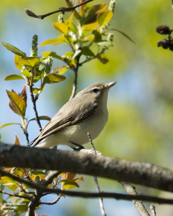 A warbling vireo.