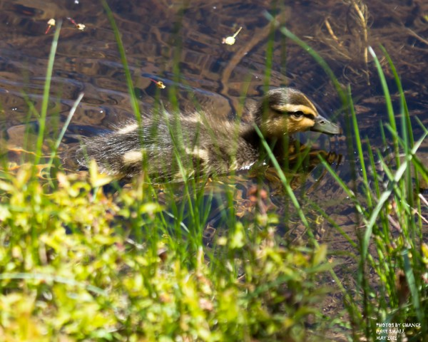An American black duck chick.