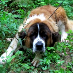 Snuffy, a 2-year-old Saint Bernard, is now available for adoption at Bangor Humane Society.