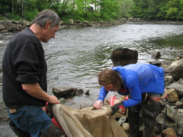 Dave Pelletier of Surry (left) and Jessica Card of Franklin examine a fyke net for stray elvers as they dismantle the net on the shore of the Union River in downtown Ellsworth on Thursday, May 31, 2012. Thursday marked the end of the 2012 elver fishing in Maine, which saw prices for the juvenile eels soar to $2,600 per pound, nearly triple the average price in 2011.