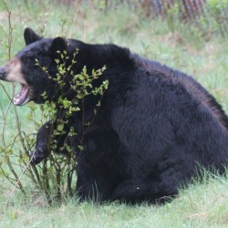 Maine wildlife department offers tips on avoiding conflicts with bears