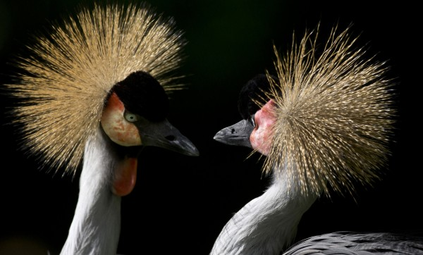 Two Grey Crowned Cranes look at each other in their enclosure at the Berlin Zoo in Berlin, Germany on Tuesday, July 17, 2012.