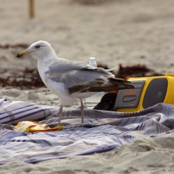A sea gull pauses on a beach towel recently at Crescent Beach State Park in Cape Elizabeth in 2001.