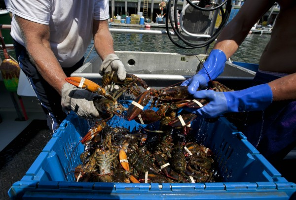 Lobsters are unloaded from a fishing boat Thursday, Aug. 9, 2012, in Portland, Maine. Maine's lobster harvest seems to be
