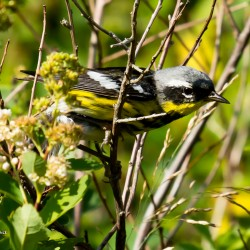 A magnolia warbler captured during a hike from Frazer Point picnic area in Acadia National Park.