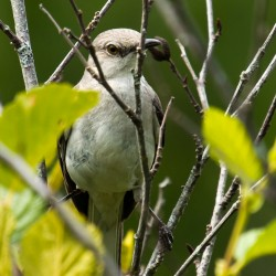 A northern mockingbird on the Alder Trail in Acadia National Park.