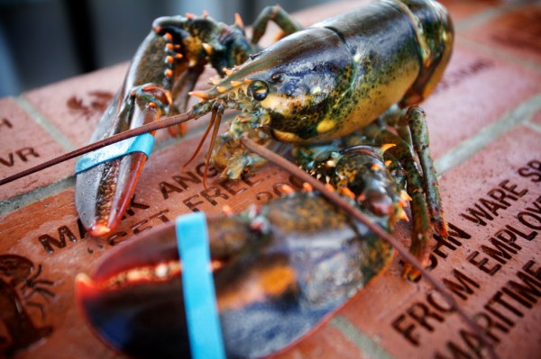 A lobster bound for the table at the 65th annual Maine Lobster Festival in Rockland is seen Wednesday, Aug. 1, 2012.