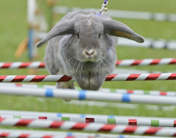 Rabbit Marry Lou clears an obstacle during the Kaninhop (rabbit-jumping) competition in Weissenbrunn vorm Wald, southern Germany, Sunday, Sept. 2, 2012. Competitors take part in three different categories with an obstacle height ranging between 9.8 and 15.8 inches.