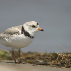 Piping plovers are among the birds that can be most susceptible to weather events like Hurricane Sandy.