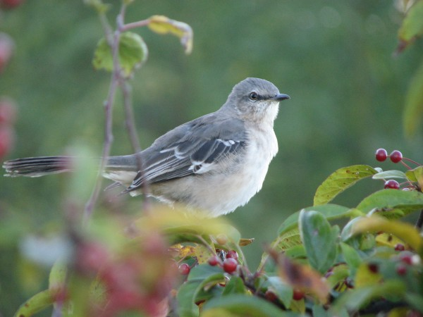 The eastern mockingbird can mimic other birds, but it isn't the only bird that can confuse birders by making unexpected noises.