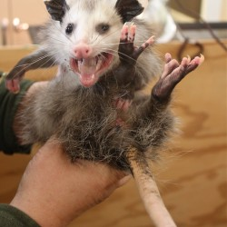 Farmington man, thinking he caught cat, finds hungry opossum in garage