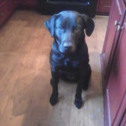'Welcome home': Molly, missing black lab, hears owner's call, limps out of woods week after crash