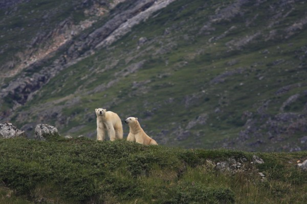 Polar bears spotted near Labrador by those aboard the Wanderbird.