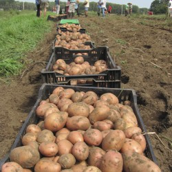 More than 14,000 pounds of potatoes in five varieties were harvested at Crystal Spring Farm in Brunswick one day in 2011 thanks to the volunteers who are part of the farm's community-supported agriculture collective.