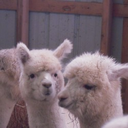 Raising alpacas can be an enriching experience