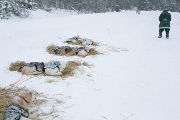 Gino Roussell of St-Jacques, New Brunswick, Canada stands in a field while his sled dog team rests at the Rocky Brook chechpoing during the CAN-AM Crown 250-mile race on Sunday, March 3, 2013.