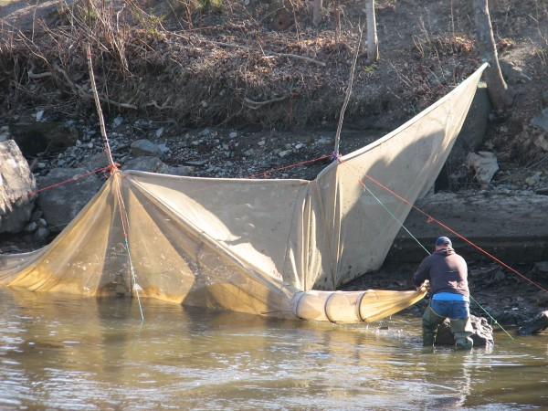An elver fishermen tends to his fyke net on the shore of the Union River in Ellsworth on Sunday, April 28, 2013. Halfway through Maine's 2013 elver season prices have declined slightly, to around $1,600 per pound, as new laws have gone into effect to prevent poaching.