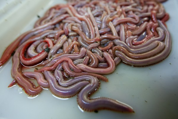Bloodworms squirm in a tray Friday at Phil Harrington Bait in Woolwich. Proposed legislation in Augusta would close the flats to worm digging when the same area is closed to clamming for conservation purposes.