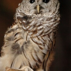 A barred owl from the Birdsacre Stanwood Wildlife Sanctuary eyes curious visitors during a presentation that also featured a great horned owl and a saw-whet owl at the Curran farm Saturday.