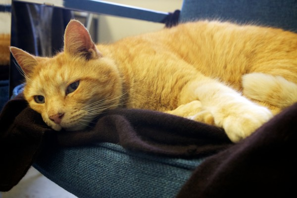 Simba the cat snoozes atop his favorite chair in Tina Soucy's math class Thursday at Westbrook High School. He's been visiting Soucy and the school every day for 13 years.