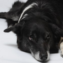 Mickey, a rescued border collie, sits at his master's feet during an interview on Wednesday.