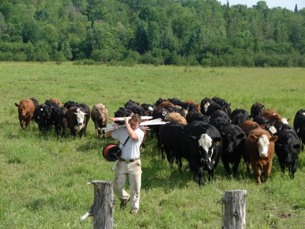 Gabe Clark of Cold Spring Ranch in New Portland moves his cattle to new pasture to graze. Clark is a leader in Maine's burgeoning grass-fed beef network.