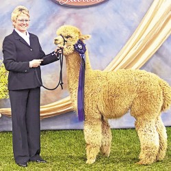 Corry Pratt of Northern Solstice Alpaca Farm in Unity shows Space Cowboy, a prize-winning male alpaca, during the 2009 MAPACA Jubilee.
