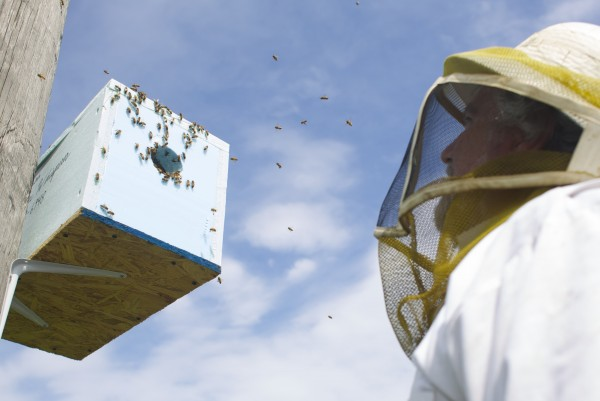 Beekeeper Peter Cowin looks up at a decoy hive filled with about 20,000 bees that he will remove and bring home for honey and bee production from Dysart's Restaurant Friday afternoon in Hermon.