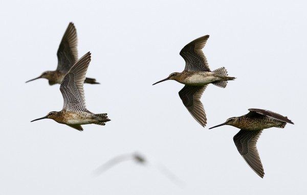 A group of dowitchers fly over Eastern Egg Rock.