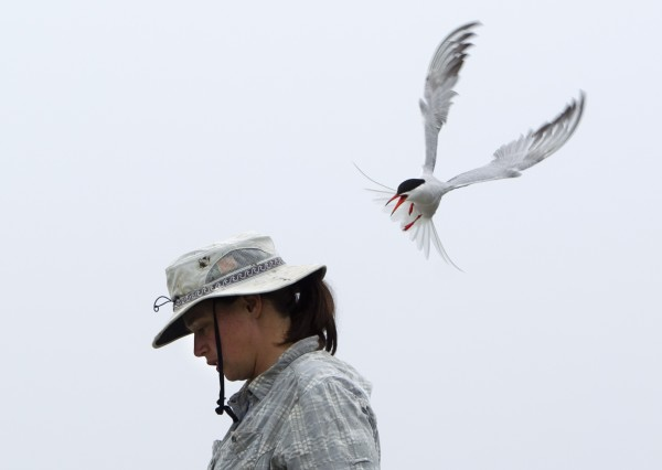 A common tern dive-bombs Maggie Post, the island supervisor on Eastern Egg Rock, as she ventures into the bird's nesting territory. Field biologists pad their hats to protect themselves from attacks.