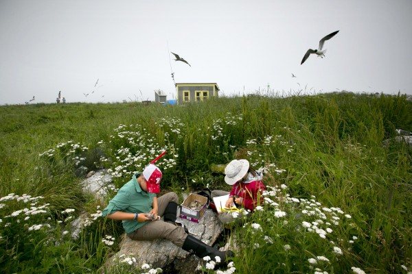 Kaitlyn Nafziger, left, and Maggie Post measure and weigh common tern chicks as they gather data on nesting seabirds on Eastern Egg Rock, Maine.
