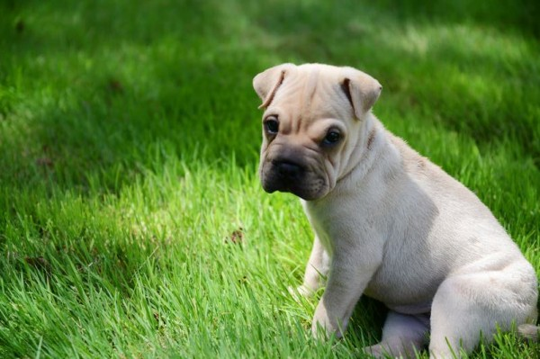 Sophie, a 9-week-old pug-sharpei mix bought at Little Paws pet shop in Scarborough, tested positive for parvovirus last week, leading to the second sales quarantine at the store in six months.