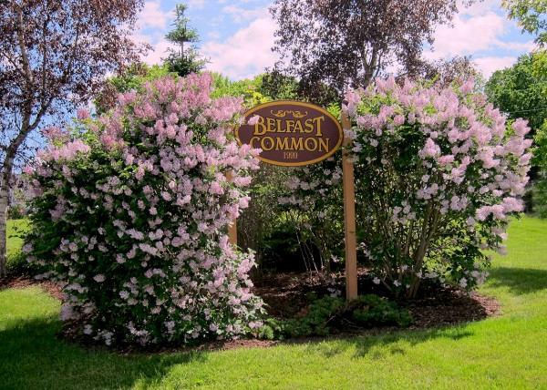 The lilacs that bloom each spring on Belfast Common are among the many park-improvement projects completed around the city over the years by Friends of Belfast Parks. Photo by Sara Shute