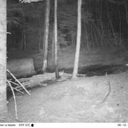 Mountain lions showing up in posh Greenwich, Conn.